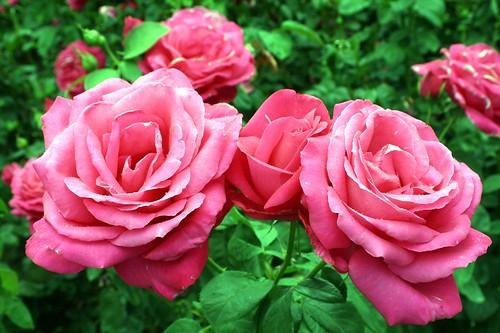 oregon_rosegarden4