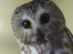 Owl at Moonridge Zoo in Big Bear