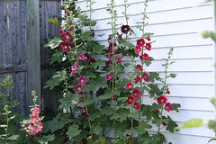 hollyhocks71207