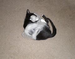 kittens corriedale iv