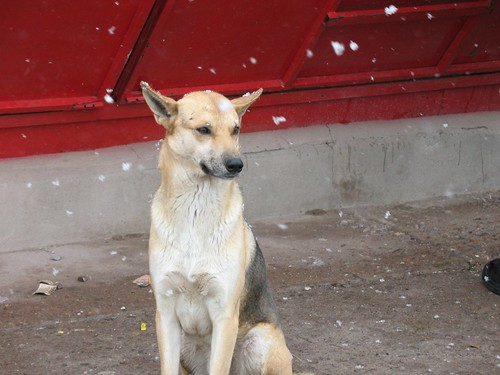 Perro Nevado