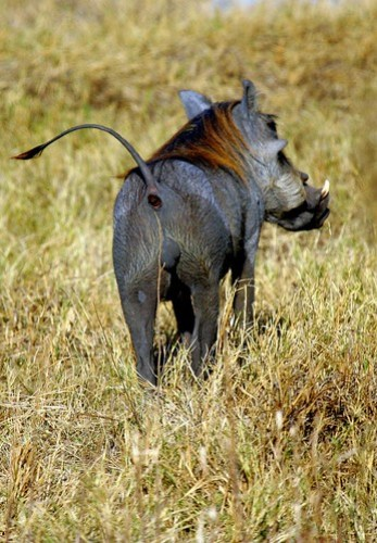 WARTHOG SHOWING HIS
