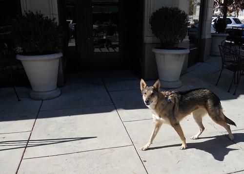 Asheville wolf-dog