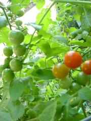 Cherry Tomato plant upclose