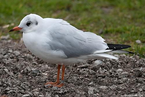 Black-headed Gull, 2cy, M[Lithuania HA08.566]
