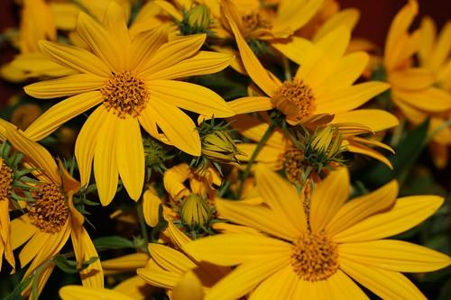 Flowers of the sunchoke plant