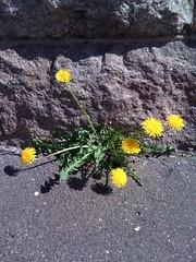 Florecitas veraneras (foto de: Tuija via Flickr)
