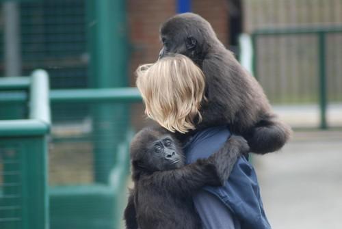 Gorillas Kouki und Oudiki im Howletts Wild Animal Park
