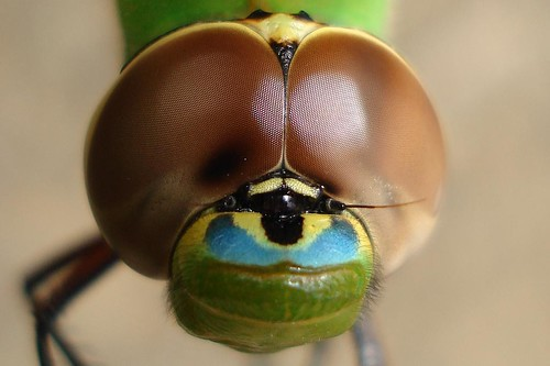 Green Darner up close