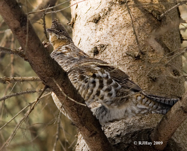 Partidge in a Pine Tree