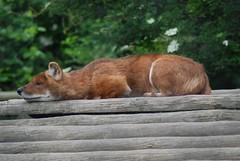Rothund im im Howletts Wild Animal Park