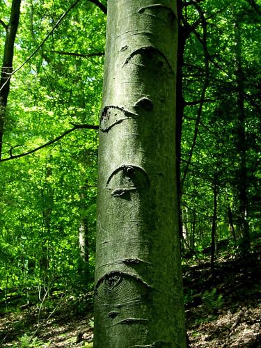 A watchful beech tree
