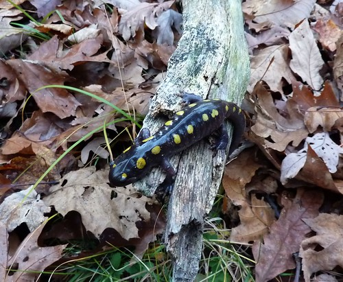 Skink. See also http://wp.me/paUdb-fq.