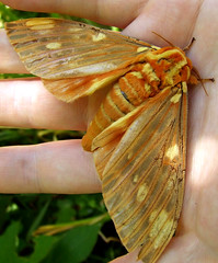 royal walnut moth 1