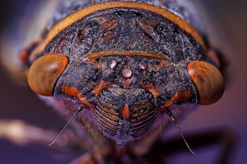 focus stacked wet cicada by Mundo Poco.