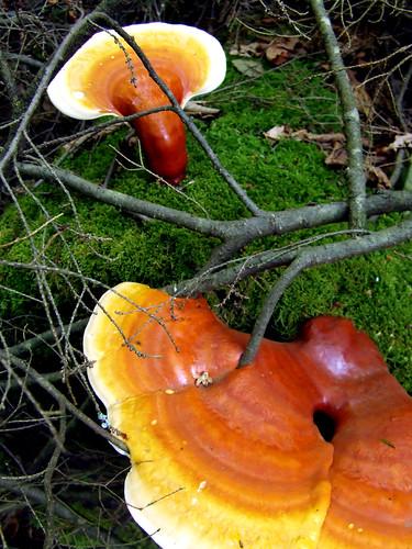 hemlock varnish shelf fungi