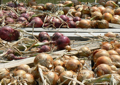 drying my first bed of onions