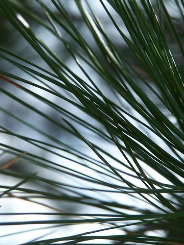 ponderosa pine needles2