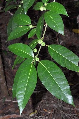 Ficus septica (Septic Fig)