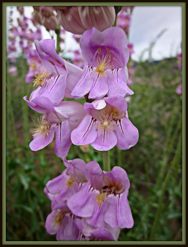 Penstemon palmeri