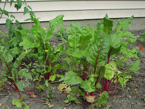 Late July chard garden