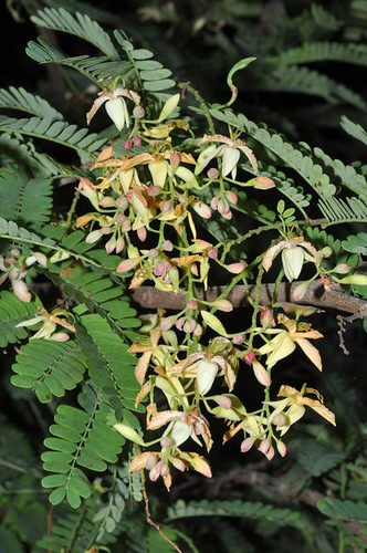 Tamarindus indicus (Tamarind)