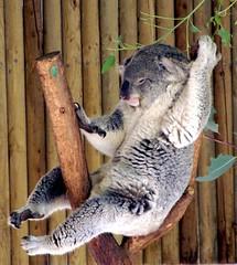 Koala Rodeo