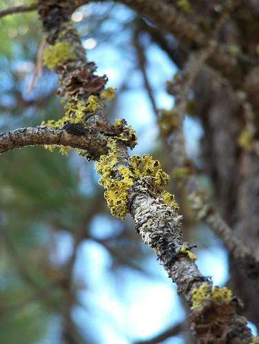 ponderosa pine twig