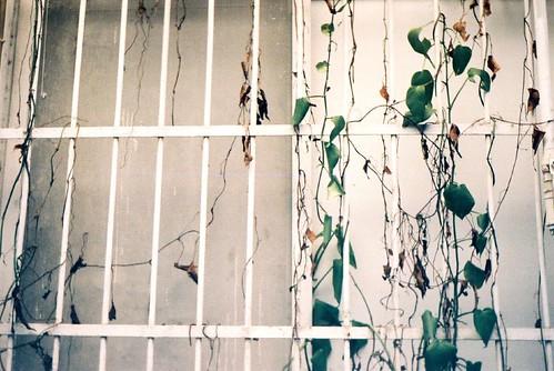 我家的巷子/爬了藤蔓的白色鐵窗