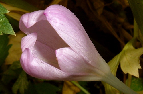 Autumn Crocus 1