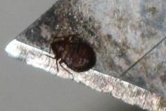 Live bed bug