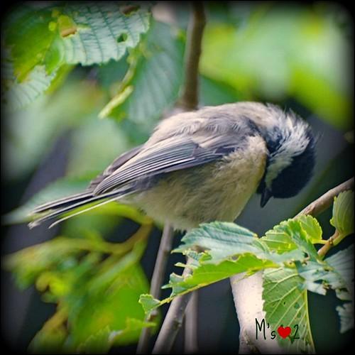 Cute lil' Chickadee...