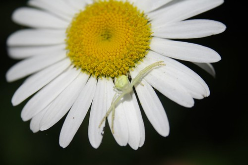 Crab Spider on Oxeye Daisy