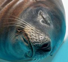Sleeping Sea Lion Close-Up
