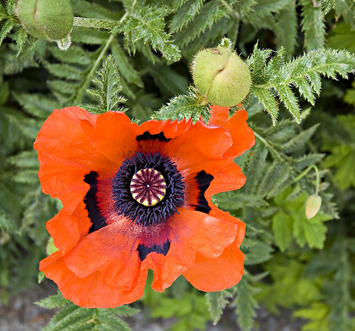 Another Poppy in Sitka