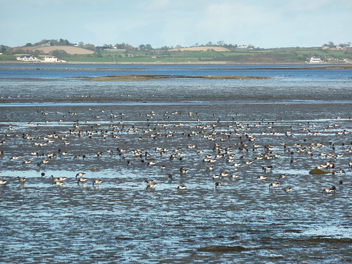 Brent geese on Strangford Lough at Castle Espie 4