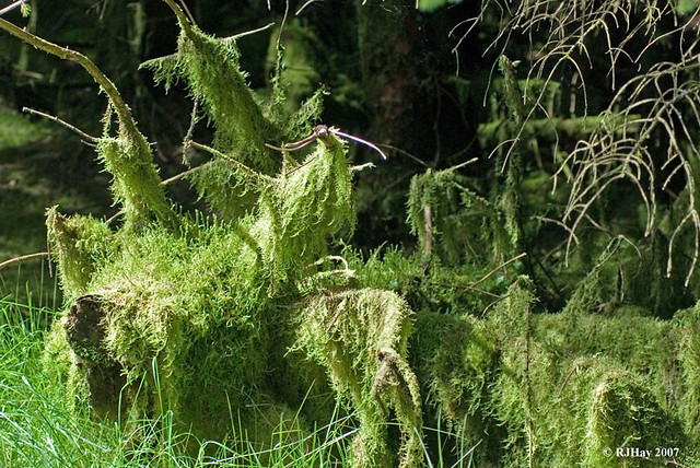 Moss laden stump
