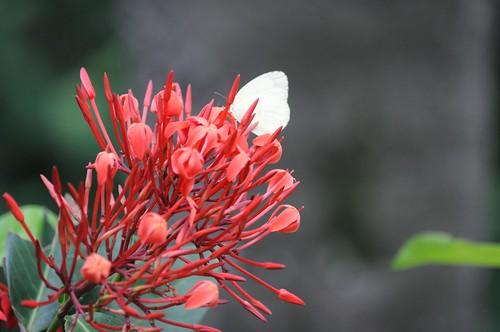 臺灣紋白蝶 Pieris canidia canidia (Linnaeus)