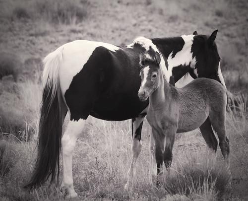 NM Wild Horses (53) nwm
