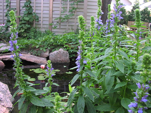 pond and great blue lobelia