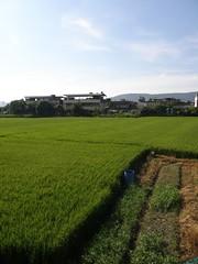 23.關渡平原的稻田