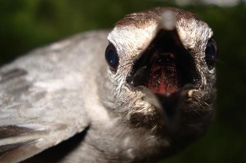 Catbirds throat