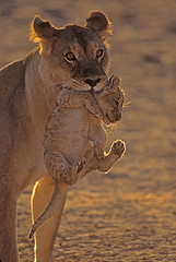 Lioness carrying 22-24 day-old cub(Kalahari Gemsbok National Park