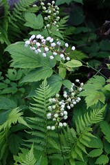 White Baneberry - August 6