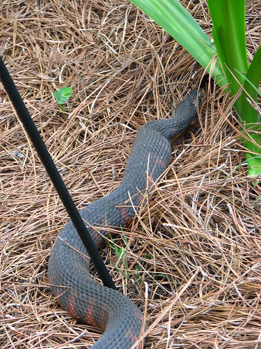 Possible Cottonmouth snake