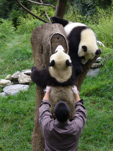 Wolong Keeper helps 1 year old climb tree