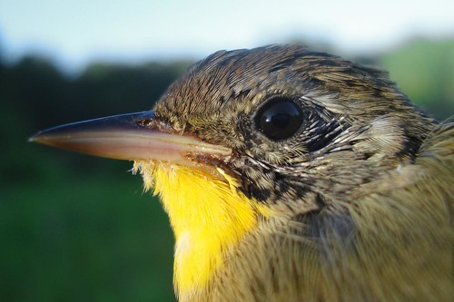 young male Common Yellowthroat