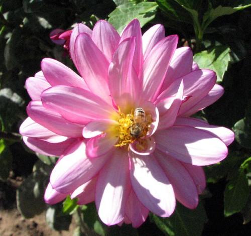 abeille butinant une fleur de dahlia
