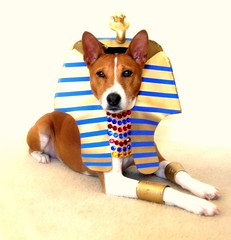Miles as Anubis by I ♥ Basenjis!