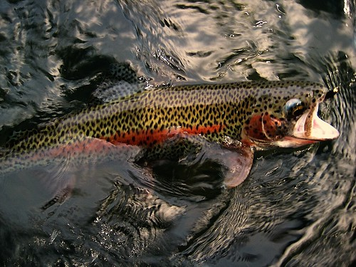 Willamette River Wild Rainbow